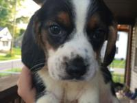 AKC registered beagle puppies. Champion bloodlines. 4