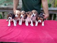 Full AKC registered Beagle puppies, 8 weeks old. Super