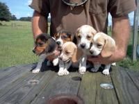 AKC Beagle puppies, 8 wks old. Very sweet and have been