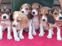 Full AKC registered Beagle puppies, 9 weeks old. Super