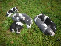 AKC beagle puppies. Outstanding hunting lines, both