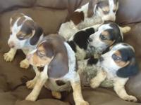 I have all male puppies available. They will be 8 weeks