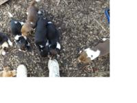 AKC Beagle young puppies, 1st shots and dewormed, born