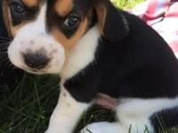 AKC Beagles available Oct 26. Both females and males