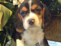 I have 4 beautiful AKC Beagle Puppies available, two