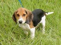 AKC reg. tri. color male beagle puppy. I have actually