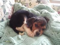 Little Ellie is an AKC Beagle young puppy. She was born