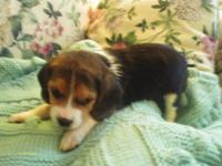 Little Misty is an AKC Beagle puppy. She was born