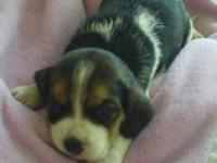 Little Gracie is an AKC Registered Beagle Puppy. Gracie