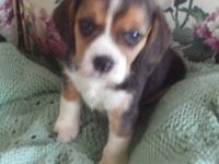 Little Riley is an AKC Registered Beagle puppy. Little