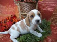 Beagle Puppies for sale. AKC registered. Dewormed and