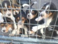 AKC Beagle Pups, dewormed, 1st shots, Tri-colored, 6