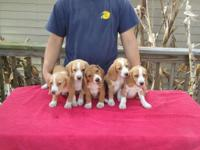 AKC full registration. All males. They are very