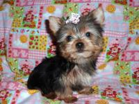 This AKC female Yorkie puppy is very cute!! She was