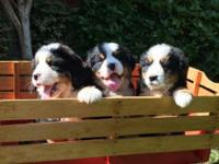 AKC loving Bernese Mountain dog puppies available and