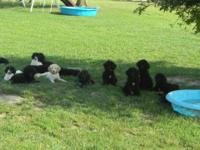 REDUCED! Beautiful large standard poodle puppies.