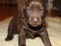 Our litter of chocolate lab puppies were born OCTOBER 6