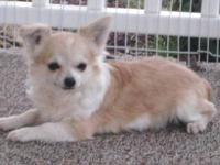 Beautiful AKC longcoat black sabled red fawn/white