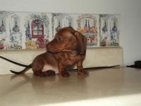 Rhett is a gorgeous AKC full registered 10 week old red