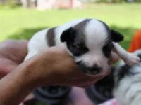 Beautiful AKC Papillon Puppies. Males and Females.. all