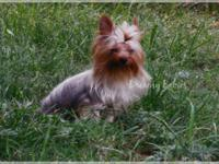 This is beautiful Wyatt. He is an AKC golden Yorkie. He