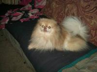 AKC Full Reg. Beaver Parti Pomeranian Female. Just