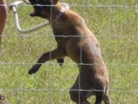 AKC Belgian Malinois female puppy she comes with a 1