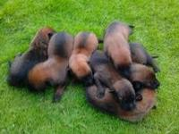 Our Belgian Malinois Puppies for Sale are $1600.00