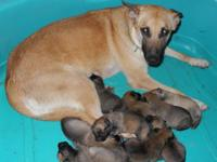 **** AKC Belgian Malinois puppies born 22 May 2015