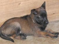 AKC Belgian Malinois puppies born 21 Jun 2015 Puppy