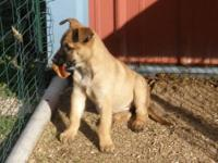 Belgian Malinois fawn puppies that are 9 weeks old.