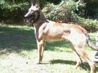 AKC Reg . Very nice Young Adult Belgian Malinois French