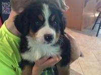 8 week old male puppy. Great personality and very