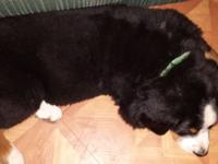 We have 2 female bernese puppies. One is 9 weeks and
