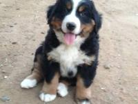 Adorable AKC Bernese Mountain Dog puppies ready for new