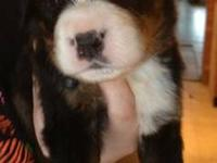 For Sale: 5 males ready to go end of April. Beautiful