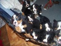 AKC Bernese Mountain Dog puppies born 3/19/13. They