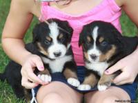 Beautiful, sweet tempered Bernese Mountain Dog puppies