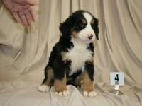 Hello, I beautiful litter of Akc Bernese Mountain Dog