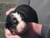 AKC Bernese Mountain Dog Puppies. Born 11/19/13. 1