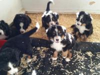 Adorable litter of AKC Bernese Mountain Dogs ... 5