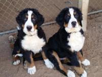 Lovable litter of AKC Bernese Mountain Dogs ... Quality