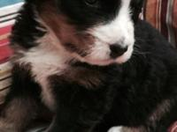 We have four HUGE AKC Bernese Mountain Dog Puppies.