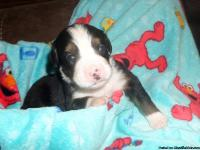 I currently have AKC Bernese Mtn Dog puppies available.