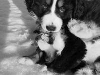 We have 3 AKC male Bernese Mountain Pet dog puppies