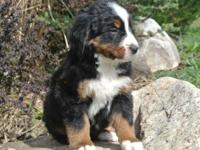 We have a beautiful litter of bernese mountain dog pups