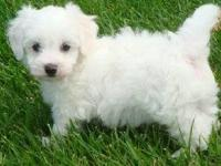 AKC BICHON FRISE, Almost Here Great Xmas Gifts; The
