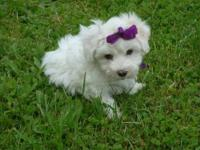 AKC BICHON FRISE The Puppies are here, Pick out your