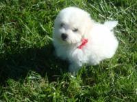 AKC Bichon Frise puppies. Ready Nov 20th. Taking