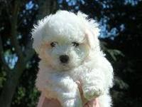 AKC Bichon Frise The Puppies will be here in October,